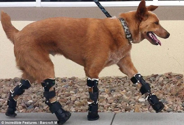 Walkies: Naki'o is a happy little chappy once again thanks to his amazing prosthetic legs